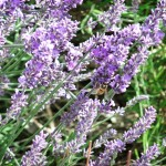 Chichester Copywriter - Lordington Lavender 13