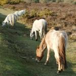 Chichester Copywriter - grazing ponies