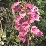 BignorWeedWildflower3