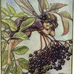 Chichester Copywriter - Elderberry Flower Fairy