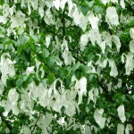 Chichester Copywriter - Handkerchief tree