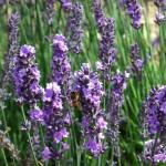 Chichester Copywriter - Lordington Lavender 1
