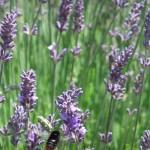 Chichester Copywriter - Lordington Lavender 10