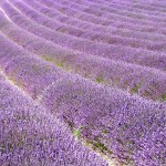 Chichester Copywriter - Lordington Lavender 11
