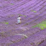 Chichester Copywriter - Lordington Lavender 12