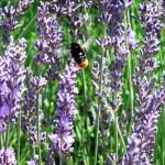 Chichester Copywriter - Lordington Lavender 14