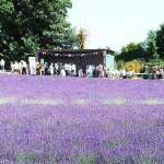 Chichester Copywriter - Lordington Lavender 15