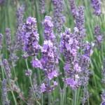 Chichester Copywriter - Lordington Lavender 2