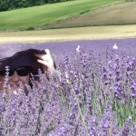 Chichester Copywriter - Lordington Lavender 4