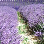 Chichester Copywriter - Lordington Lavender 6