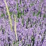 Chichester Copywriter - Lordington Lavender 8