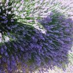 Chichester Copywriter - Lordington Lavender 9