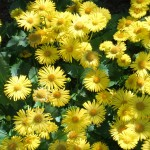Chichester Copywriter - Yellow daisies