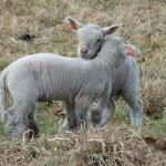 Chichester Copywriter lamb11