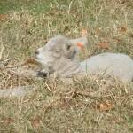 Chichester Copywriter lamb2