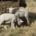 Chichester Copywriter lamb3