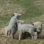 Chichester Copywriter lamb4