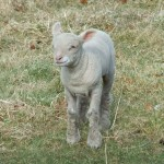 Chichester Copywriter lamb5