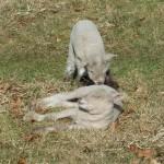 Chichester Copywriter lamb6