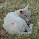 Chichester Copywriter lamb7