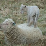 Chichester Copywriter lamb8