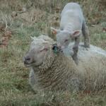 Chichester Copywriter lamb9