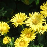 Chichester Copywriter- more yellow daisies
