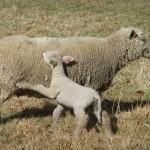 Chichester copywriter lamb1