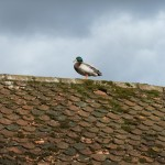 Duck on a roof