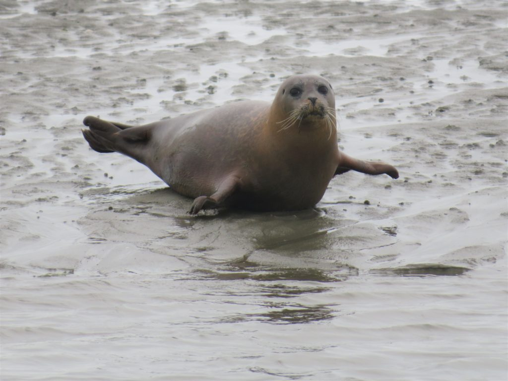 Common Seal hauled out in Chichester Harbour