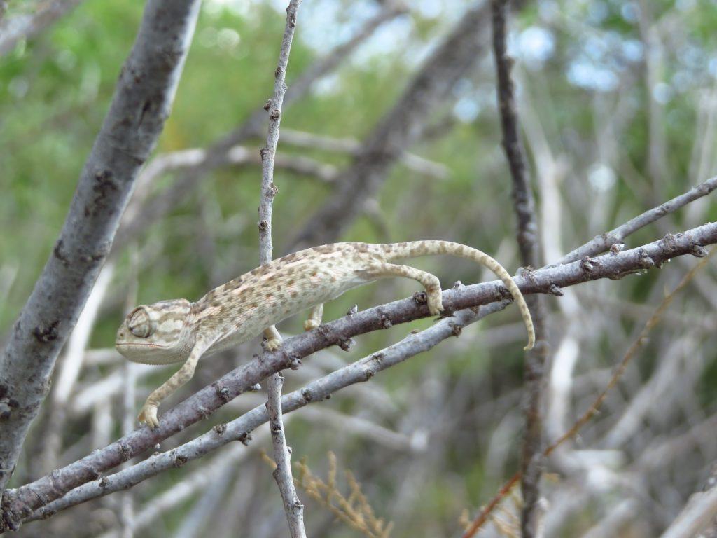 Baby Mediterranean Chameleon at Għadira Nature Reserve