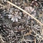 Pine cones -Chichester Copywriter