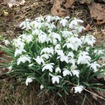 more spring snowdrops
